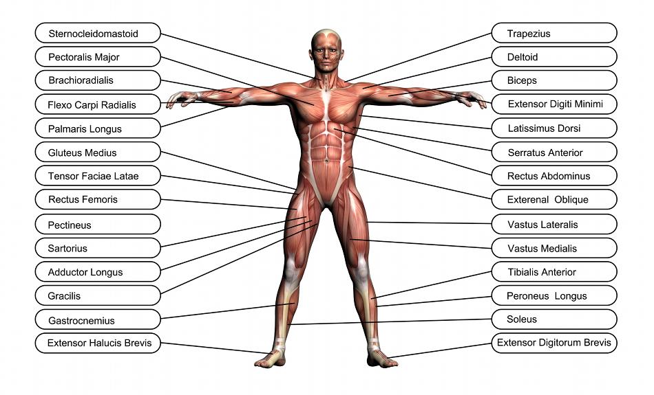cours sur les muscles du corps humain